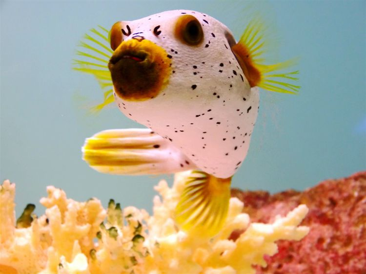 Underwater Photography Pufferfish Underwaterphotography EyeEm Gallery Hello World Cheese! Im A Puffer Fish! Saltwaterfish Saltwater Aquarium Check This Out People And Places
