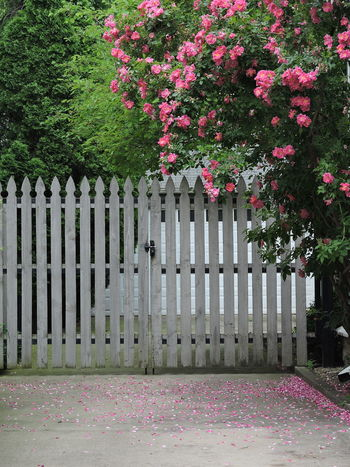 Day Driveway Shot Flower Growth Nature No People Outdoors Picket Fence Pink Color Plant Wild Roses