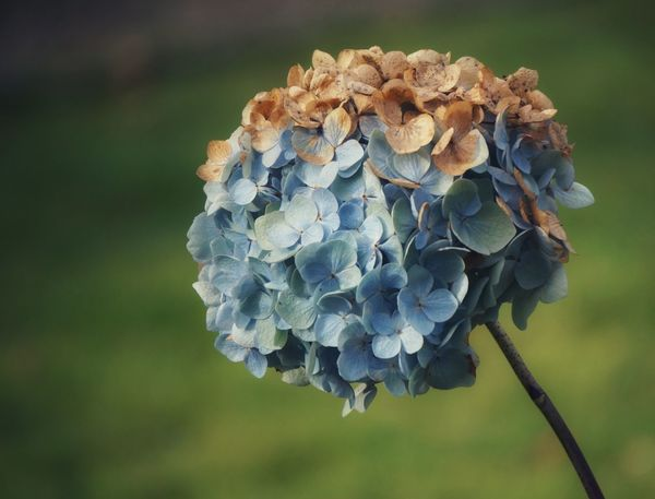 Autumn took her paintbrush and in the finest pastel colours painted for you a beautiful hydrangea bloom... Hydrangea Flower Autumn Colours Autumnbeauty Pastel Blue No People Close-up Perspectives On Nature The Week On EyeEm Nature Softness Focus On Foreground Simple Quiet Love