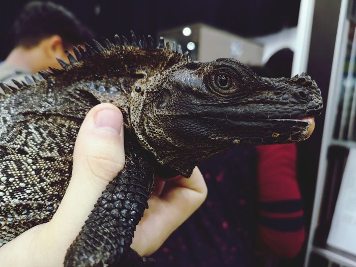 Dragon Human Hand Reptile Pets Holding Close-up Exotic Pets Iguana Lizard Animal Skin Animal Scale Skin Personal Perspective Human Finger