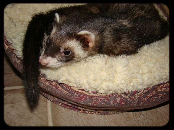 Bandit <3 Ilovemyferret  Ferrets