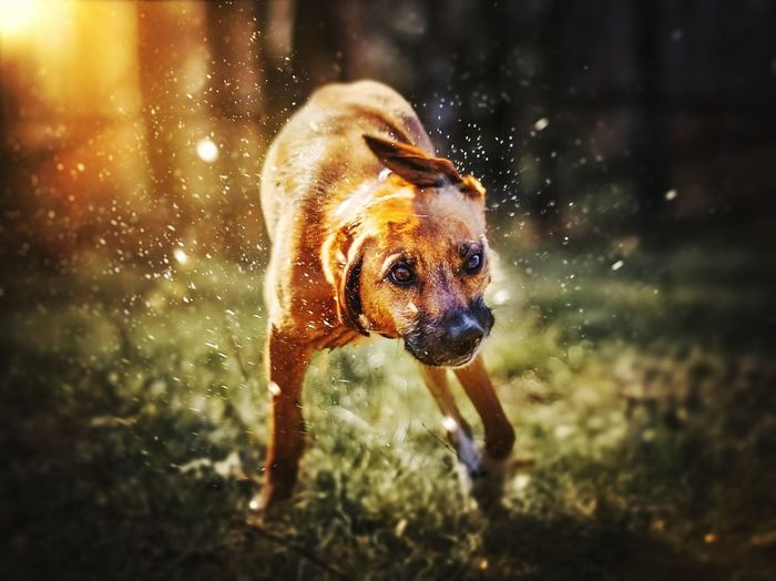EyeEm Selects Dog Pets One Animal Animal Themes Animal Domestic Animals Drop Water Shaking Portrait Close-up Mammal Outdoors Day No People Nature Beagle