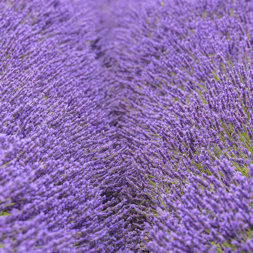 Mayfield Lavender Farm, Banstead, England Britain British Farm Field KINGDOM Nature Rural United States Banstead Close-up Countryside England Flower Flowering Plant Flowers Full Frame Lavender Lavender Colored Mayfield No People Outdoors Purple Selective Focus Summer Uk