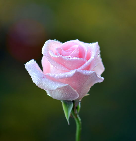 Pink Rose Flower Beauty In Nature Blooming Close-up Day Drop Flower Flower Head Focus On Foreground Fragility Freshness Growth Nature No People Outdoors Periwinkle Petal Pink Color Plant Rose - Flower Water Wet