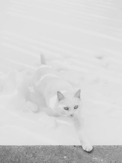 eight. The Week On EyeEm B & W By Yeli Animals In The Wild Cat Black And White Black & White Snow Domestic Cat Portrait Feline Looking At Camera Mammal Domestic Domestic Animals Pets Animal Themes Nature No People Outdoors Day Shades Of Winter