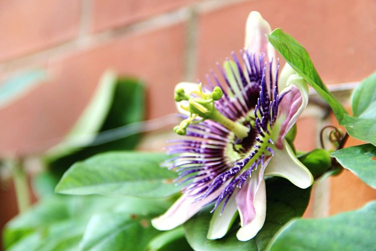May all have peace. Flower Fragility Freshness Nature Growth Petal Beauty In Nature Plant Flower Head Close-up Paciflora Frommygarden No People Day Outdoors Passion Flower