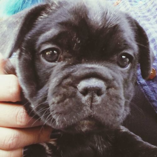 Oreo Female French Bulldog Shes Adorable Puppy❤ I Want One