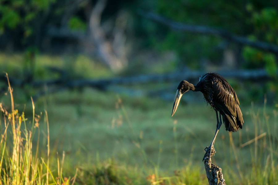 Animal Themes Animal Wildlife Animals In The Wild Beak Beauty In Nature Bird Bird Of Prey Close-up Day Focus On Foreground Grass Nature No People One Animal Open Billed Stork Outdoors Perching The Great Outdoors - 2017 EyeEm Awards