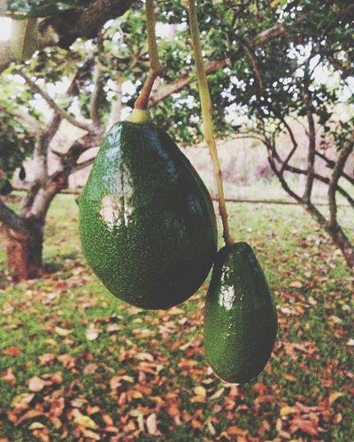 Frutas árbol Naturaleza Barrera Carabobo Venezuela