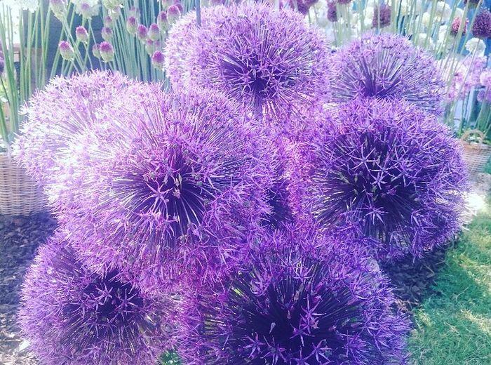 Purple Flower Flower Head Close-up Hamptoncourtpalacegardens