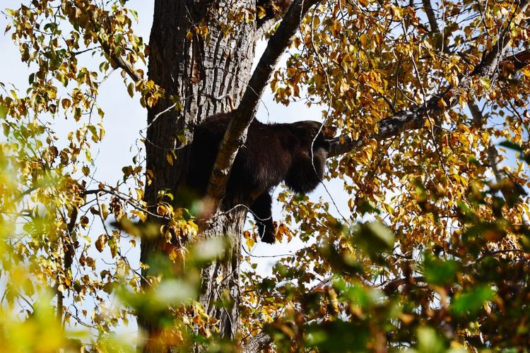 Bear Hikingadventures Beauty In Nature Wanderlust Nature Hiking Animals In The Wild Fall Yellow Wells Gray Provincial Park Kanada Canada Tree Branch Leaf Sky Bat - Animal Willow Tree