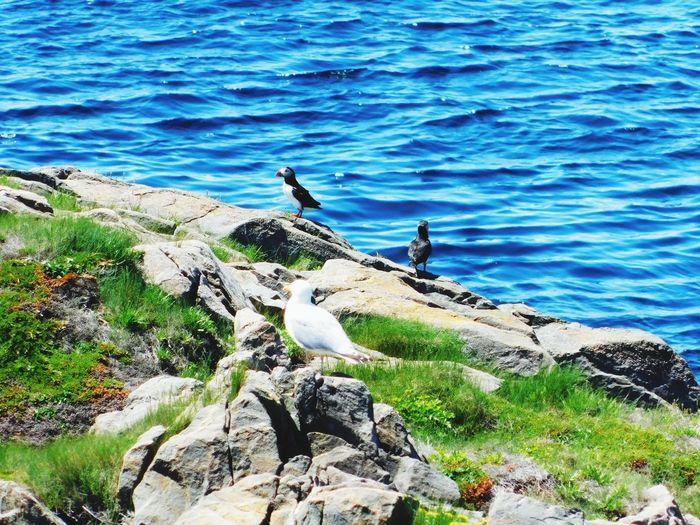 Puffin Seagull