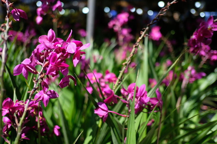 Spathoglottis plicata At 26th Agricultural Fair Spathoglottis Spathoglottis Plicata Beauty In Nature Day Flower Flowering Plant Growth Nature No People Outdoors Petal Pink Color Plant Purple