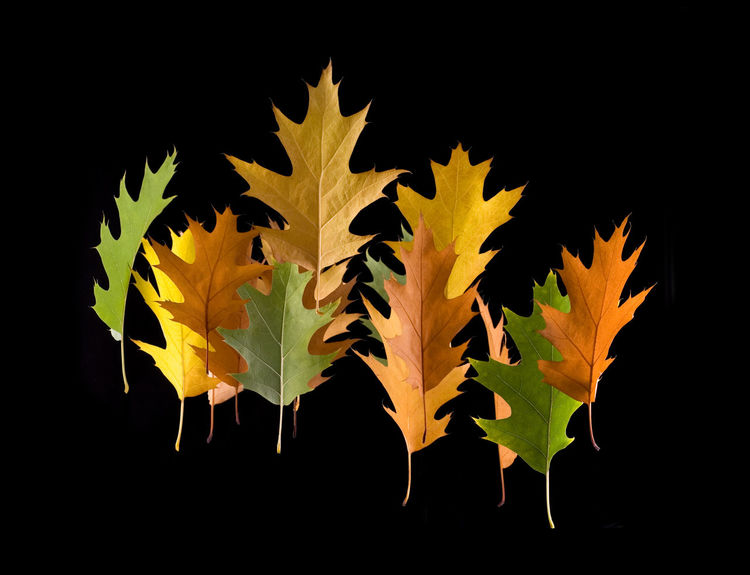 Variety colored autumn oak leaves levitating on black background, multicolored combination, studio shot, horizontal orientation, leaves in vertical position. Abstract Autumn Black Background Built Structure Deciduous Fall Leaves Falling Leaves Foliage Green Group Hover Isolated Leaf Leafage Leaved Leaves Levitate Levitating Nature No People Orange Color Studio Photography Paint The Town Yellow Various Yellow Leaves
