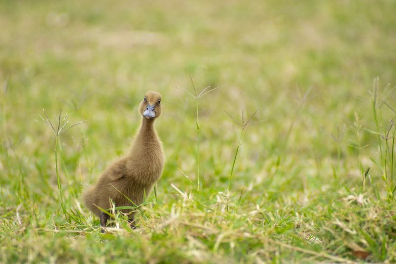 duck Duck Animal Themes Animal Animals In The Wild Grass Animal Wildlife Vertebrate Field Plant Nature Selective Focus One Animal Outdoors Green Color Side View