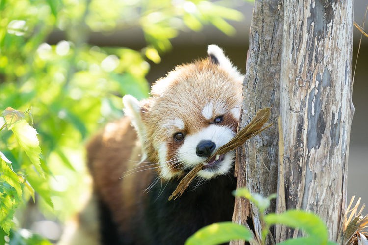 Animal Animal Head  Animal Themes Animal Wildlife Animals In The Wild Close-up Day Focus On Foreground Looking Mammal Nature No People One Animal Outdoors Plant Red Panda Selective Focus Tree Tree Trunk Trunk Vertebrate Whisker