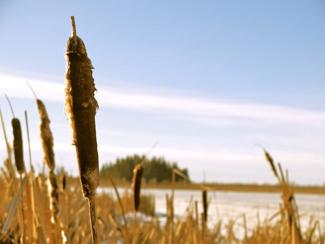 Day Environment Field Grass Landscape Nature Outdoors Reeds Rural Snow Spring Tranquility