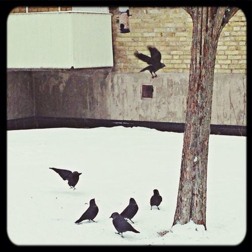 Crows r feeding in the snow