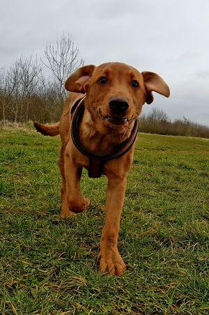 Labrador Labrador Retriever Puppies Puppy Fox Red Lab EyeEm Selects Dog One Animal Pets Domestic Animals Grass Animal Themes Standing