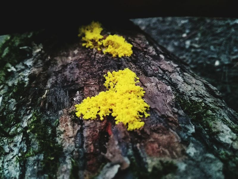 Yellow No People Close-up Day Louisiana Paint The Town Yellow Beauty In Nature Outdoors Growth Tree Fungus 🍄 Yellow Fungus Grown On Wood Bark Texture Pine Bark Homochitta National Forest