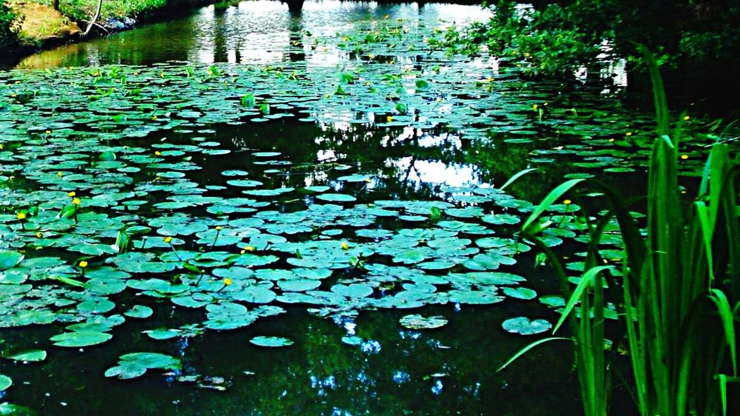 Mothernature Green Green Green!  Nenuphar Nenufares Green Nature Nature_collection Naturelovers Nature Photography Herbs GreenNature Nature_ Collection  Naturelover Natureporn Nature
