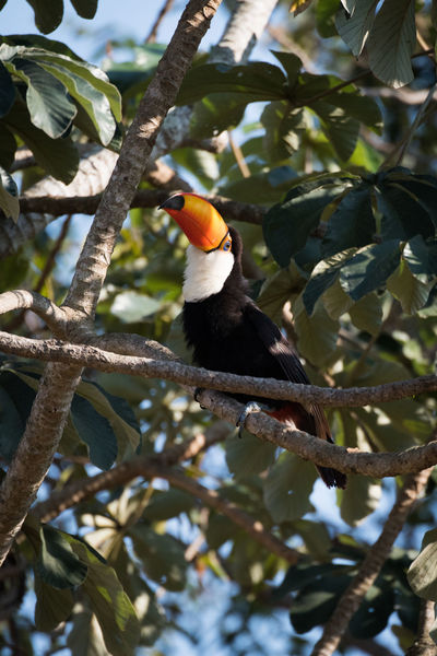 Animal Themes Animal Wildlife Animals In The Wild Beauty In Nature Bird Branch Day Nature No People One Animal Outdoors Perching Toco Toucan Tree Woodpecker