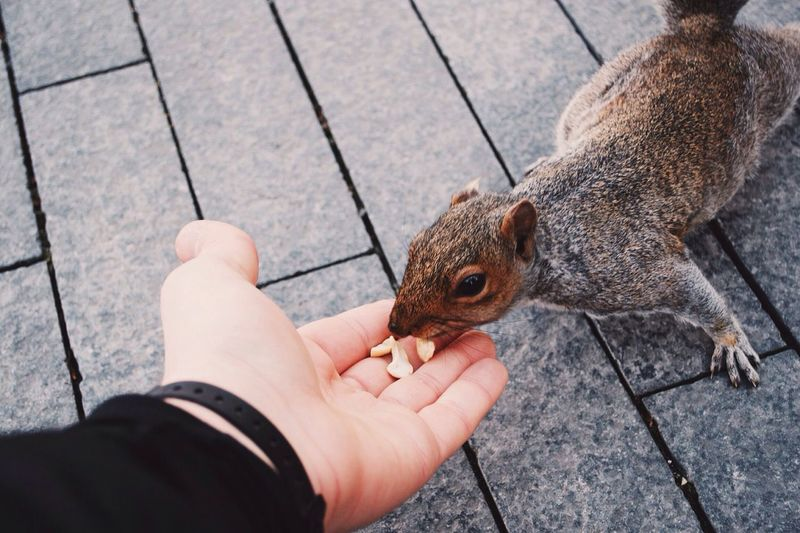 Cropped hand feeding peanut to squirrel on walkway