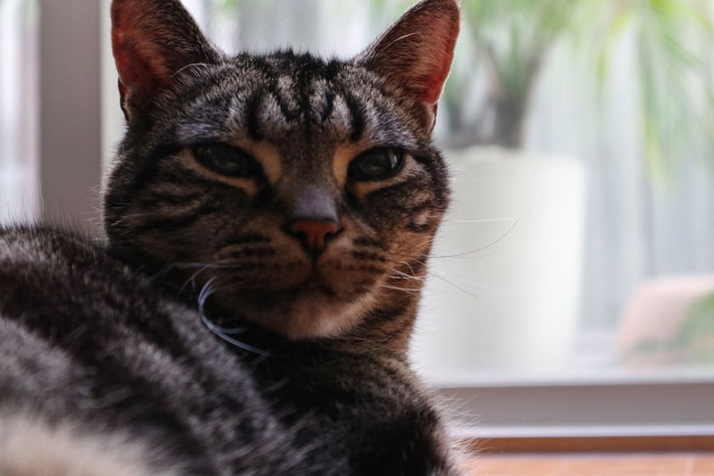 161231 Jimmy 2 American Shorthair Animals Black Bokeh Bokeh Photography Cat Cat Lovers Close-up Daytime Domestic Cat Feline Feline Portraits Indoors  Jimmy Jimmychoo Looking At Camera Mammal My Cat No People One Animal Pet Photography  Pets Whisker