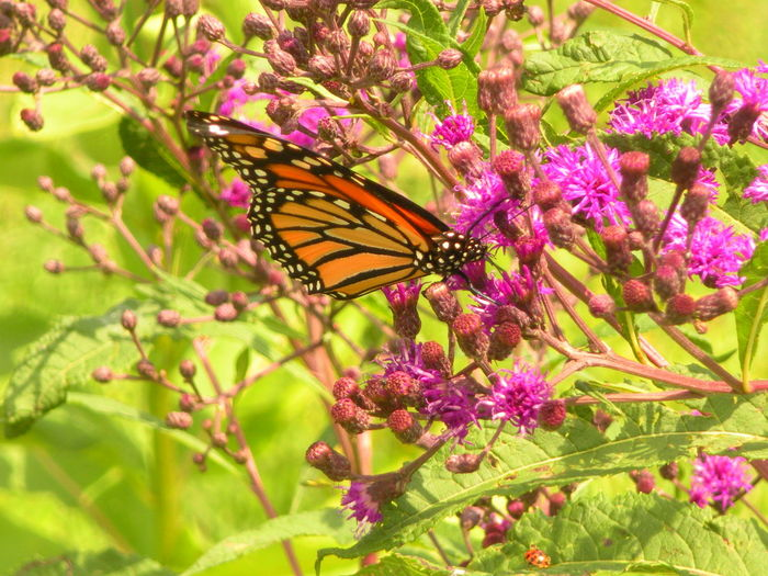 Gorgeous Monarch Butterfly on Purple Wildflowers (at Friendship Park Lake, Smithfield, Ohio) Butterfly Wing Friendship Park Lake Patterns In Nature Purple Wildflower Smithfield Township Smithfield, OH Smithfield, OH 43948 Susan A. Case Sabir Unretouched Photography Animal Themes Beauty In Nature Butterfly - Insect Butterfly Collection Flowering Plant Fragility Gorgeous Butterfly Monarch Monarch Butterfly Monarch Butterfly On Flower Nature Walk No People Orange, Yellow, White, Black Purple Wildflower With Monarch Butterfly Sunny Day Vulnerability