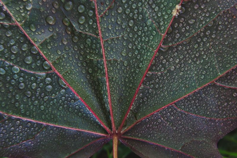 Plant Part Drop Leaf No People Full Frame Plant Green Color Rain Outdoors Natural Pattern Backgrounds Beauty In Nature Wet Nature RainDrop Close-up Water Growth Day Rainy Season