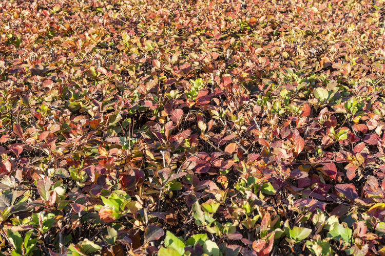 Berlin, Germany, October 10, 2018: Full Frame Close-Up of Red Hedge Berlin Germany 🇩🇪 Deutschland Horizontal No People Outdoors Color Image Leaf Plant Part Nature Full Frame Beauty In Nature Plant Growth Day High Angle View Backgrounds Abundance Sunlight Headge Red Close-up Copy Space Bush Autumn Freshness