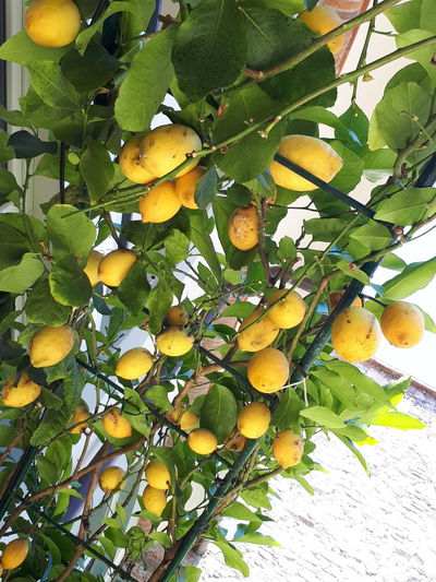 Flavors of Tuscany 🌻🌻❤yelow fruit lemons nature health light amarillo limones fruta Freshness Leaf Growth Food Healthy Eating Tranquility Scenics Outdoors Ready-to-eat Content