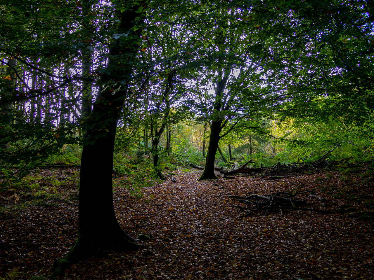 tree, plant, forest, land, nature, tree trunk, trunk, tranquility, beauty in nature, woodland, growth, no people, scenics - nature, day, outdoors, tranquil scene, non-urban scene, landscape, environment, sunlight