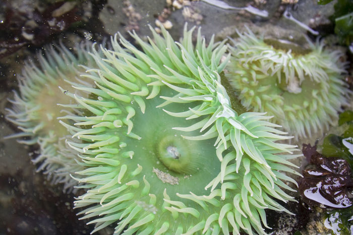 Giant Green Sea Anemone (Anthopleura Xanthogrammica ) in a tide pool - Long Beach, Pacific Rim National Park, Vancouver Island, British Columbia, Canada Animals In The Wild Anthopleura Xanthogrammica Arthropod Beauty In Nature Britsh Columbia Canada Close-up Giant Green Green Color Green Sea Anemone Growth Long Beach No People Pacific Ocean Pacific Rim National Park Sea Sea Anemone Sea Life Tidal Pool UnderSea Underwater Vancouver Island Water Wildlife