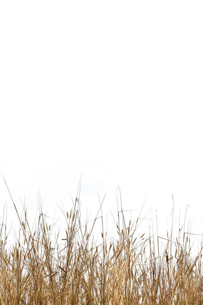 Copy Space Isolated Beauty In Nature Close-up Day Dry Field Grass Growth Landscape Nature No People Outdoors Plant Scenics Tranquil Scene Tranquility White Background
