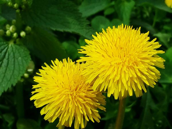 Fresh yellow couple Yellow Nature Flower Beauty In Nature Flower Head Wildflower Uncultivated Close-up Freshness No People Living Organism Nature Reserve Growth Day Outdoors Nature Spring Time Spring Life Ecosystem  Yellow Flower Yellow Couple