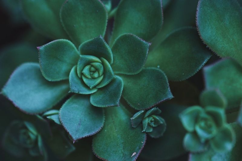 Plant Growth Nature Beauty In Nature Green Color No People Close-up Outdoors Day Fragility Flower Freshness Succulent Plant Succulent Macro EyeEmNewHere