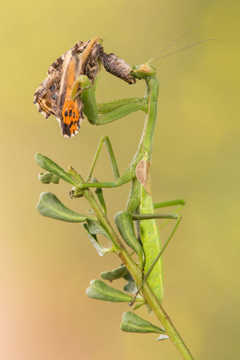 Close-up of praying mantis eating butterfly