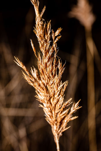 Focus On Foreground Plant Nature Close-up No People Growth Beauty In Nature Selective Focus Brown Sunlight Crop  Outdoors Agriculture Tranquility Day Dry Cereal Plant Plant Stem Gold Colored Field Dietary Fiber Stalk