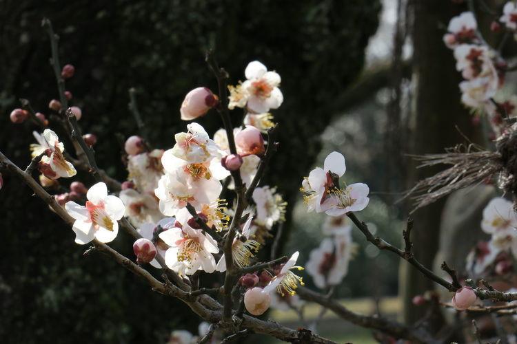 Tokyo plum flowers