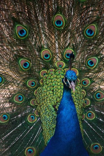 Pavo cristatus Peacock Bird Peacock Feather Feather  Animal Themes Animal Animal Wildlife Vertebrate Blue One Animal Animals In The Wild Green Color Beauty In Nature Beauty Close-up Full Frame No People