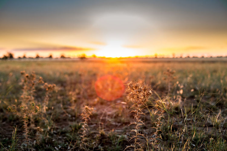 Close-Up Of Plants On Field Against Sky At Sunset