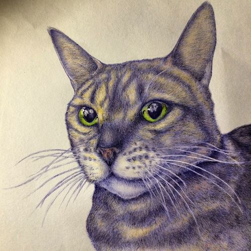 Shawty close up Illustration Catdrawing Bengal Cat