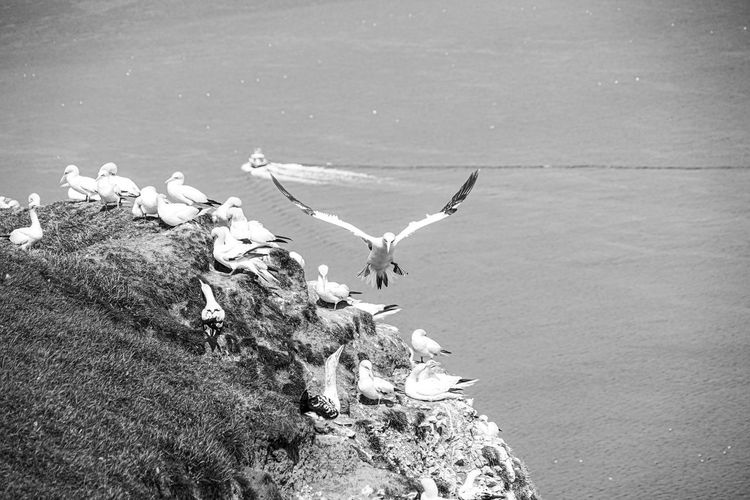 Close up of gliding flying gliding large white sea-bird gannet monochrome over rocks sky and ocean