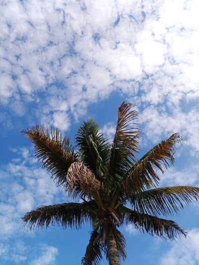 Coqueiro/Coconut tree 🌴☀️ Summer Summer ☀ Sun #Nature  #Brazil Nuvem A Cloud Cloud Tree Palm Tree Blue Sky Cloud - Sky Coconut Palm Tree Palm Leaf Dominican Republic Indian Ocean Tropical Climate Houseboat Tall - High Branch Tropical Tree Bare Tree Plant Life Coconut Tropical Fish Date Palm Tree Tree Trunk Tower EyeEmNewHere This Is Masculinity