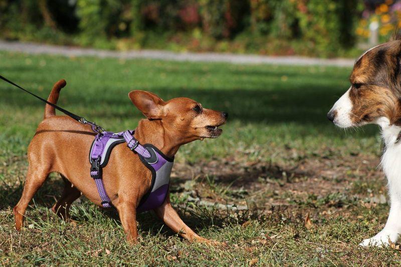 Wild pincher dog