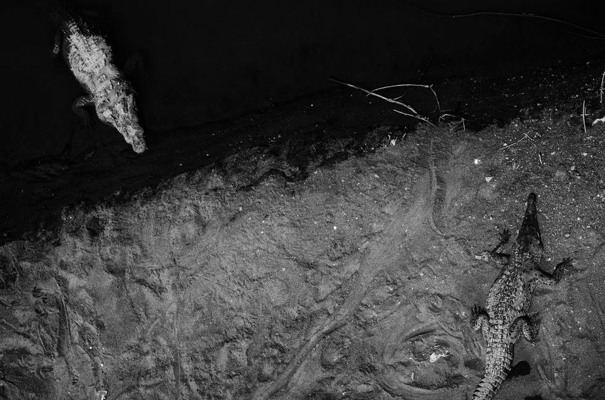 Animals In The Wild Blackandwhite Crocodile Elevated View Kaiman Opposite Opposite Directions Water