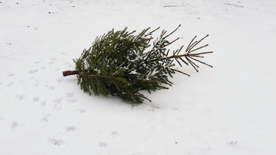 Pine Tree Tree Winter Christmas Tree Nature No People Outdoors Day Close-up Snow Christmas Theendofchristmas Sad EyeEm Selects