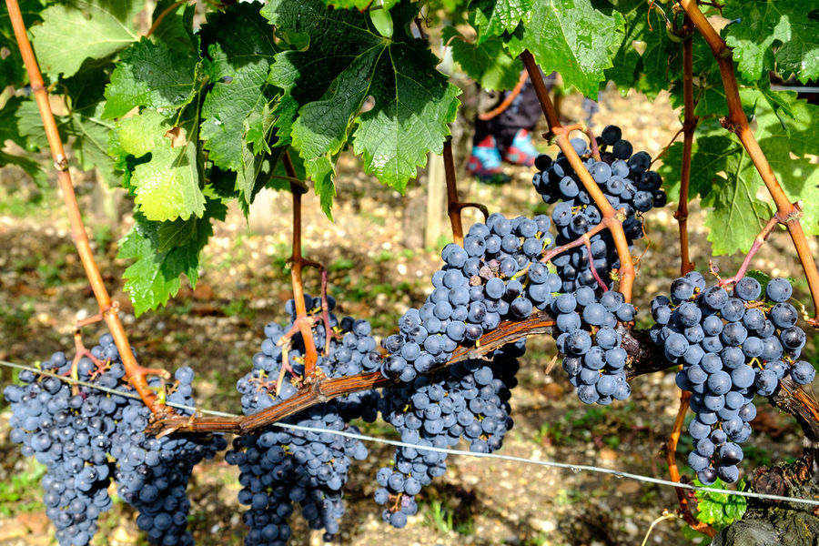 Bordeaux Bouliac France Merlot Grapes Vines Grape Harvest Hotel Le St. James-Bouliac Vineyard Viniculture