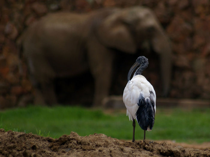 White ibis against elephant on field